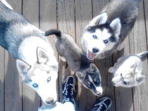 husky puppies Birmingham Al
