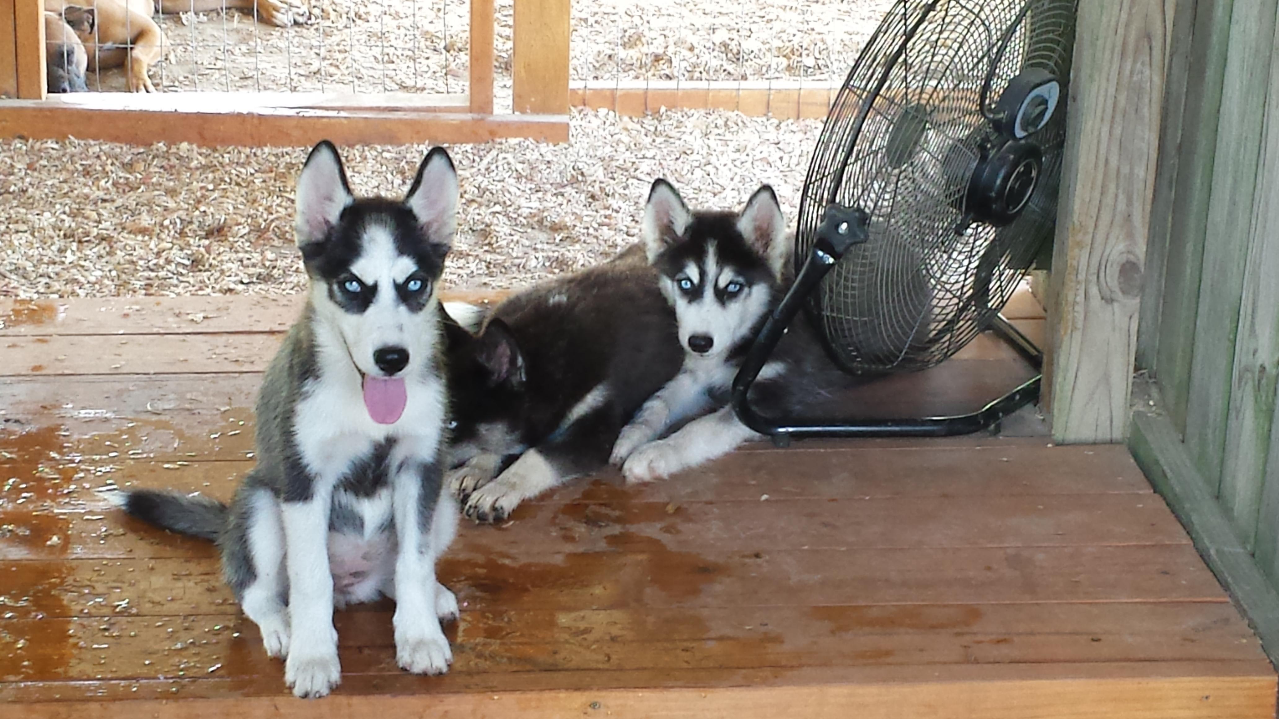 Husky Puppies For Sale Tennessee Alabama Huskies